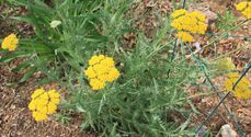 Achillea millefolium ´Summer Fruit Lemon´