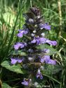 Ajuga reptans ´Jungle Beauty´