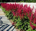 Astilbe chinensis ´Vision in Red´