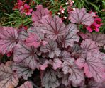 Heuchera hybrida ´Berry Smoothie´