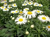 Leucanthemum maximum ´Snow Lady´