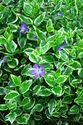 Vinca minor ´Moonlit´