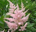 Astilbe japonica ´Europa´