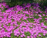 Delosperma cooperi ´Table Mountain´