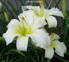 Hemerocallis hybrida ´Joan Senior´