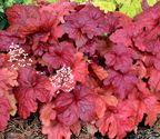 Heuchera hybrida ´Fire Chief´