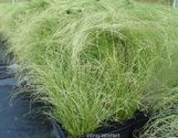 Carex comans ´Amazon Mist´