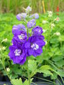 Delphinium x cultorum ´M.F. Dark Blue White bee´