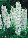 Delphinium x cultorum ´Magic Fountains Pure White´