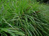 Cymbopogon citratus ´Tasty Lemon´