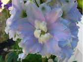 Delphinium x cultorum ´M.F. Sky Blue White bee´