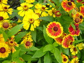 Helenium autumnale ´Rotgold hybr.´