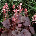 Heuchera hybrida ´Bella Note´