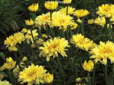 Leucanthemum maximum ´Goldfinch´