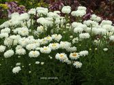 Leucanthemum maximum ´Victorian Secret´