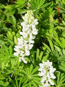 Lupinus polyphyllus ´Gallery White´