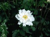 Anemone japonica ´Whirlwind´