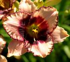 Hemerocallis hybrida ´Daring Deception´