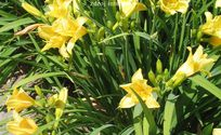 Hemerocallis hybrida ´Happy Returns´