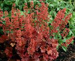 Heuchera hybrida ´Cherry Cola´