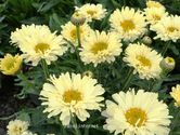 Leucanthemum maximum ´Real Dream´