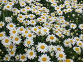 Leucanthemum maximum ´Real Glory´