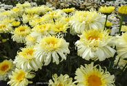 Leucanthemum maximum ´Real Charmer´
