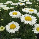 Leucanthemum maximum ´Real Neat´