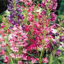 Penstemon barbatus ´Navigator Mix´