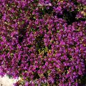 Thymus praecox ´Red Carpet´