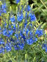 Veronica teucrium ´Royal Blue´
