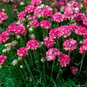 Armeria maritima ´Morning Star Rose´
