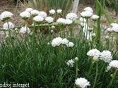 Armeria maritima ´Morning Star White´