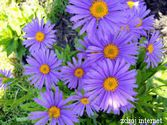 Aster alpinus ´Beauty Blue´