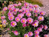 Aster alpinus ´Beauty Rose´