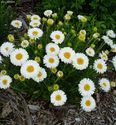 Aster alpinus ´Beauty White´