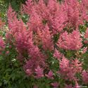 Astilbe japonica ´Mainz´