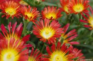 Delosperma hybrida Wheels of Wonder ´Fire´