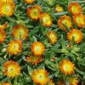 Delosperma hybrida Wheels of Wonder ´Orange´