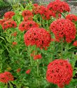 Lychnis chalcedonica ´Red´