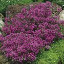 Thymus praecox ´Creeping Red´
