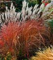 Miscanthus sinensis ´Little Miss´