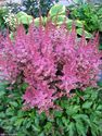 Astilbe chinensis ´Finale´