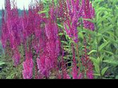 Astilbe chinensis ´Purperlanze´