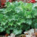Heuchera hybrida ´Apple Crisp´