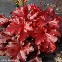 Heuchera hybrida ´Forever Red´