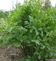 Levisticum officinale ´Verino´