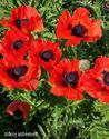 Papaver orientale ´Beauty of Livermere´