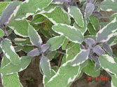 Salvia officinalis ´Tricolor´ Hexenmantel