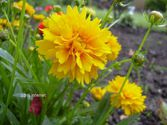 Coreopsis grandiflora ´Early Sunrise´